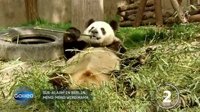 Süßer Nachwuchs im Berliner Zoo: Pandsbärin Meng Meng bringt Zwillinge zur Welt