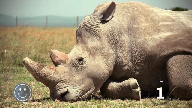 Wie Wissenschaftler Breitmaul-Nashörner vor dem Aussterben retten wollen