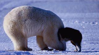 Nein, der Eisbär verschlingt den Schlittenhund nicht. Die beiden Tiere spielen im Schnee in Kanada.