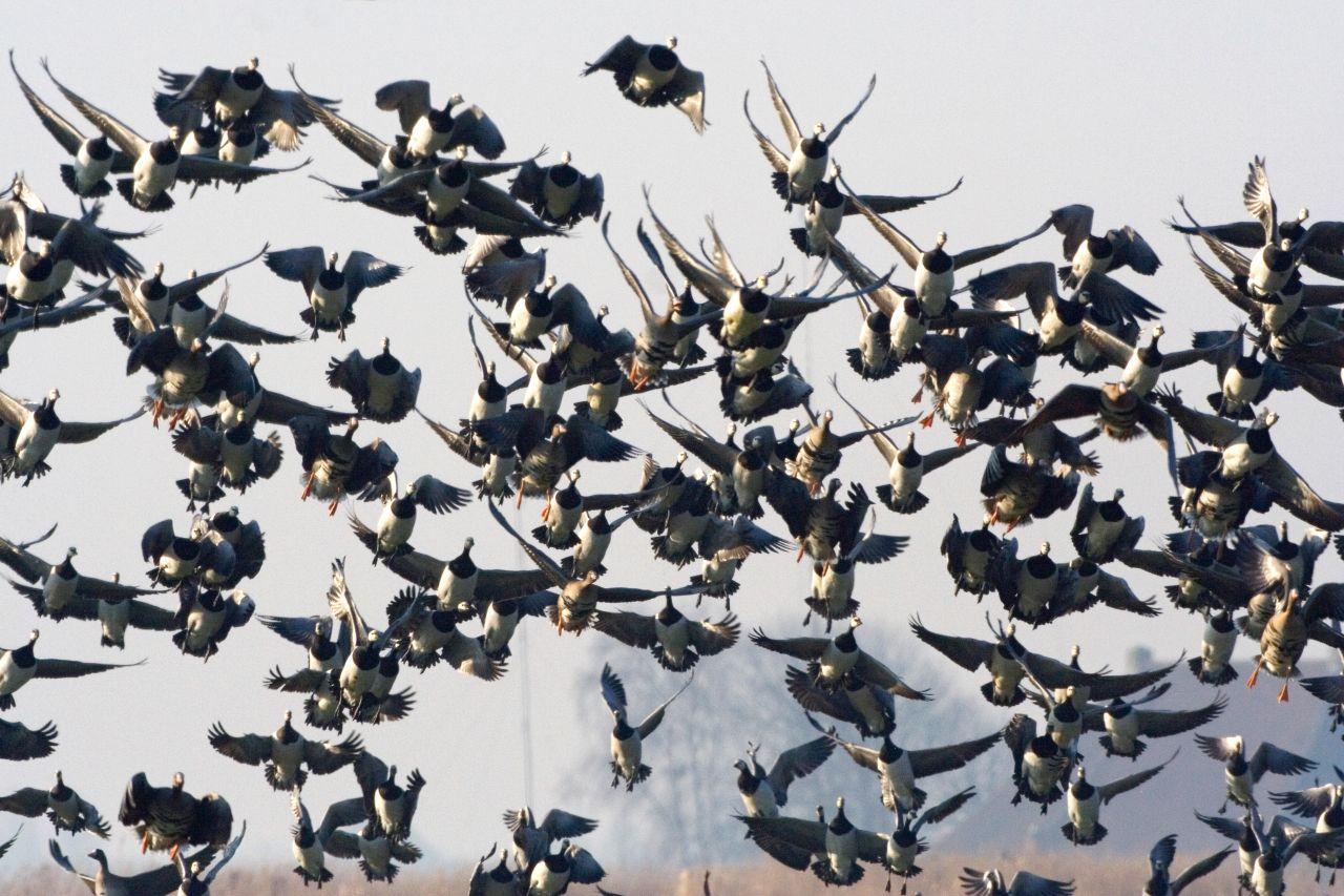 Niederlande: Diese Weißwangengänse sind am Ziel angekommen.