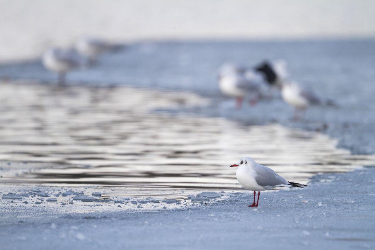 Die Lachmöwe überwintert bei milden Temperaturen am Meer.