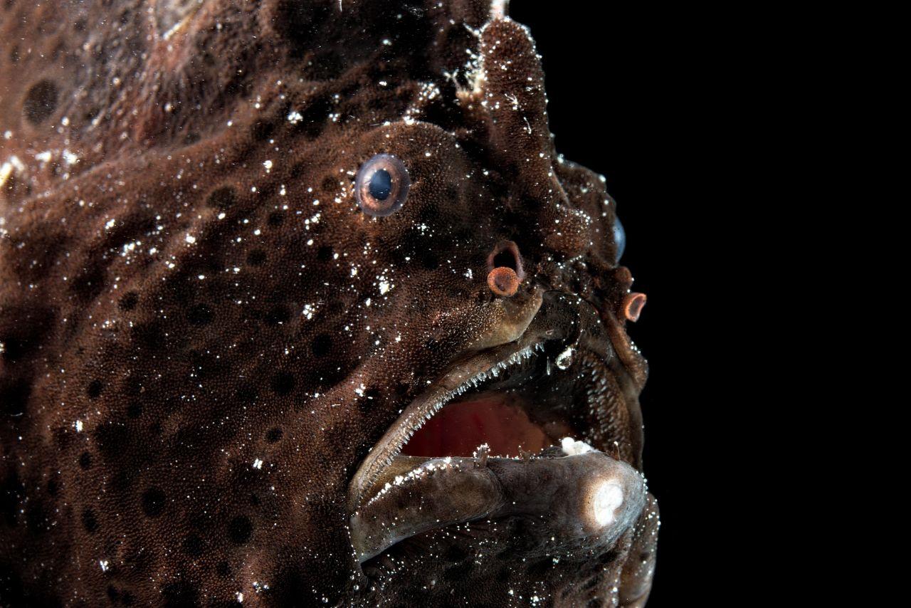 Anglerfische leben in 1.000 bis 4.000 Metern Tiefe. Mit ihrem Leuchtorgan locken sie Beute an.