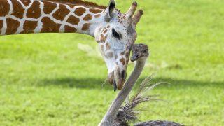 Giraffe Bea hat sich mit Strauß Wilma in einem Safari-Park in Florida angefreundet. Die Tiere suchen die Nähe zueinander und die Giraffe schleckt den Strauß gerne ab.