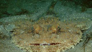 Kein Leichtgewicht: Bis zu 50 Kilo kann der Seeteufel wiegen.