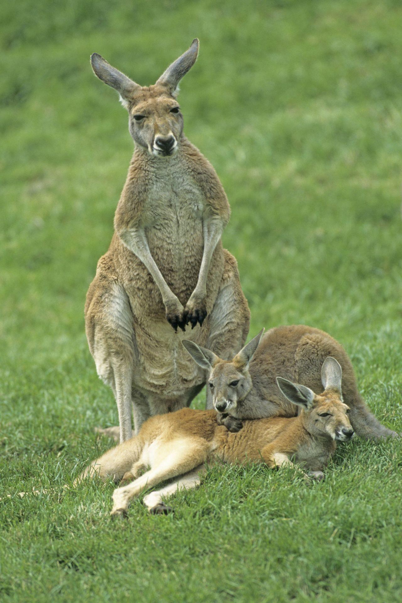 Kängurus in Australien fressen absichtlich Mohn. High vom enthaltenen Morphin, hüpfen sie anschließend im Kreis herum.