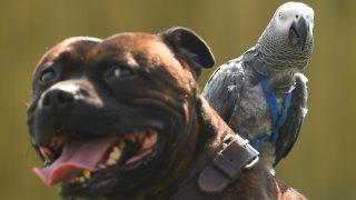 Der hat doch nen Vogel: Staffordshire Bullterrier Dudley trägt seinen Papageien-Kumpel Cracker beim Spaziergang auf dem Rücken.