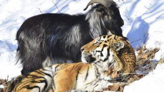 Ziegenbock Timur war als lebendiges Futter für Tiger Amur gedacht. Doch die beiden Tiere freundeten sich an. Die Zoo-WG hielt aber nicht ewig: Nach einigen Monaten verletzte Amur seinen Freund. Der Ziegenbock kam noch zur Kur, starb aber kürzlich. Die Tiere sind so bekannt geworden durch ihre ungewöhnliche Freundschaft, dass der Zoo in Russland nun eine Ziegenstatue plant – in Gedenken an den tapferen Bock.