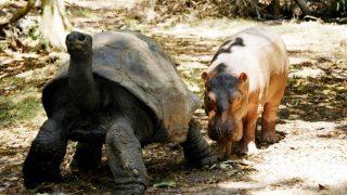 """Folge mir! Riesenschildkröte Aldabran adoptierte 2005 das Nilpferd Owen. Das Junge hatte seine Familie durch einen Tsunami verloren. Die männliche Schildkröte wurde seine """"Ersatzmama""""."""