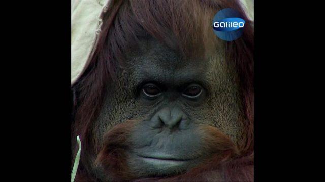 Affe Sandra erhält Menschenrechte