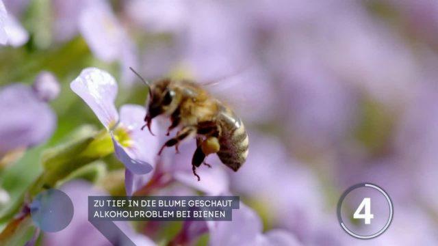 Diese Bienen sind betrunken - doch wie geht das?