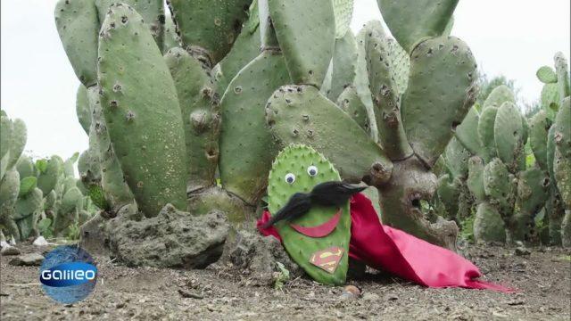 Wird der Kaktus der Superheld der Zukunft?