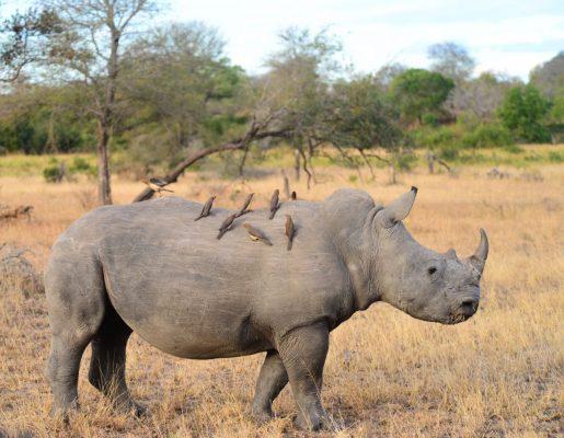 Zweckfreundschaft: Das Nashorn wird von Parasiten befreit und der kann seinen Hunger stillen.