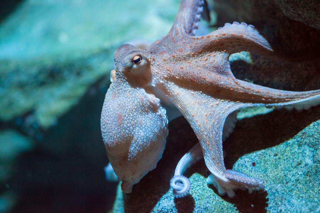 Darum wechselt dieser Oktopus im Schlaf seine Farbe