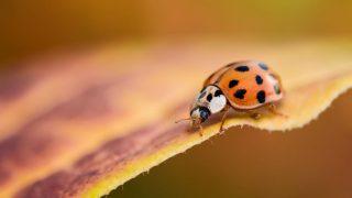 Asiatischer Marienkäfer sitzt auf Blatt