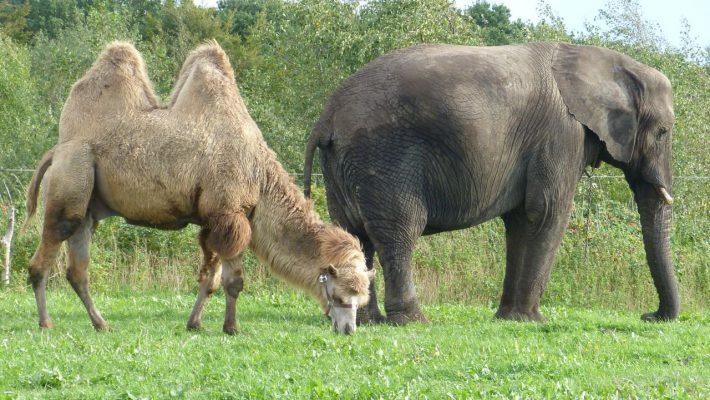 Ein Leben ohne ihren Kamelfreund Ali? Für Elefant Ramboline nicht vorstellbar!