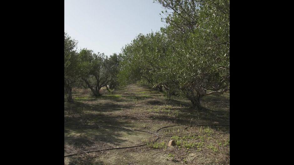 Olivenbäume: 3 überraschende Facts - 10s
