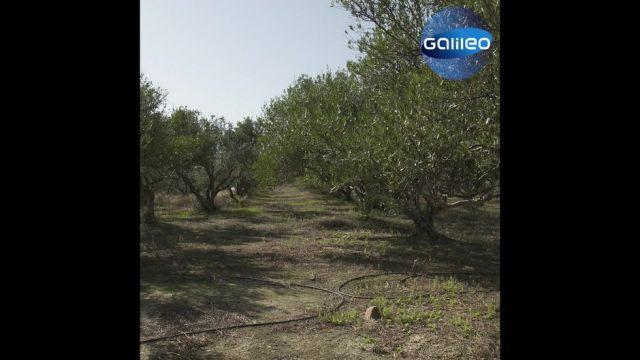Olivenbäume: 3 überraschende Facts