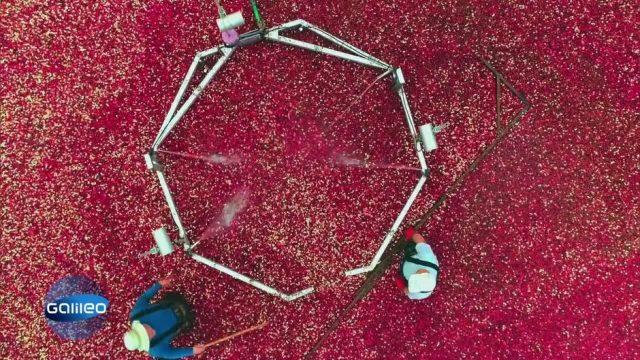 So läuft die Cranberry-Ernte ab