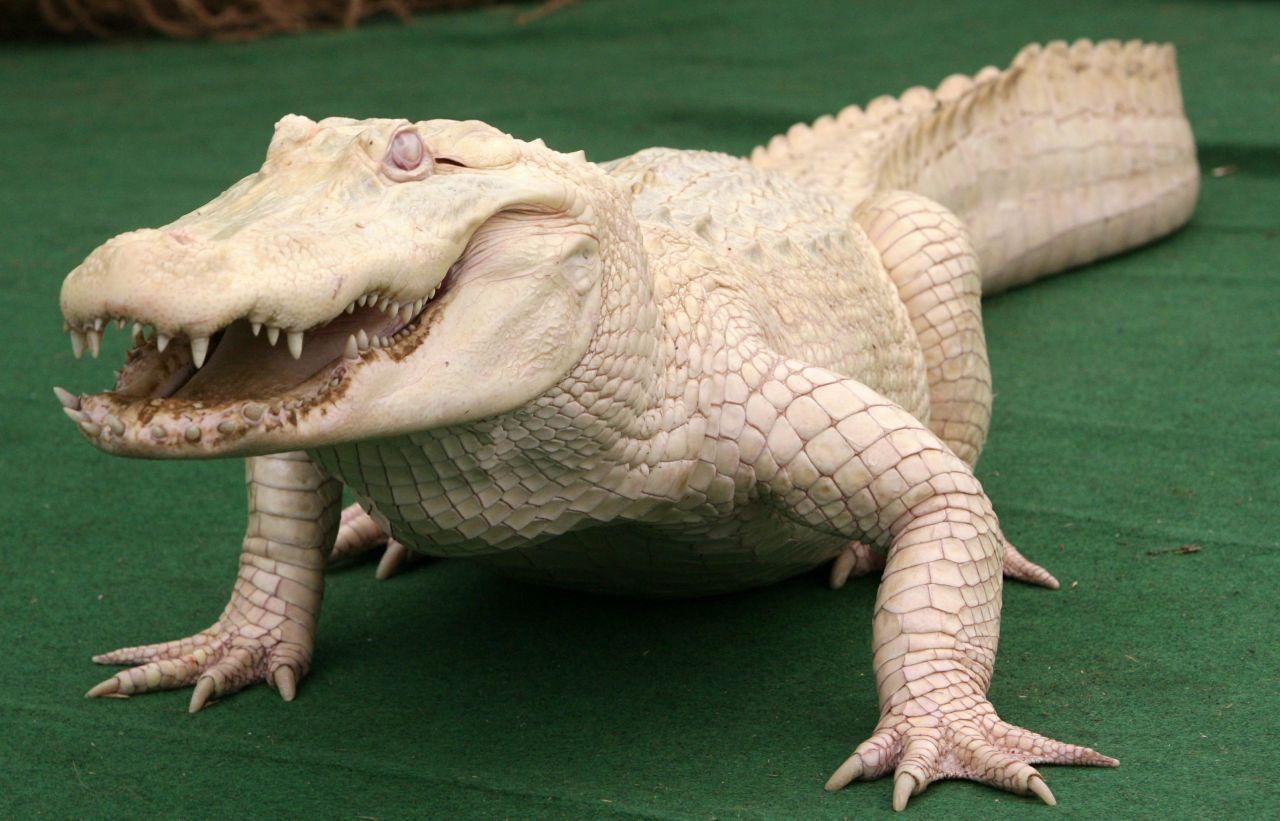 Ein Albino-Alligator auf einem grünen Teppich