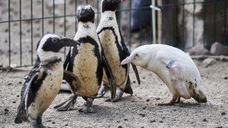 Ein Albino-Pinguin beschnuppert andere Pinguine