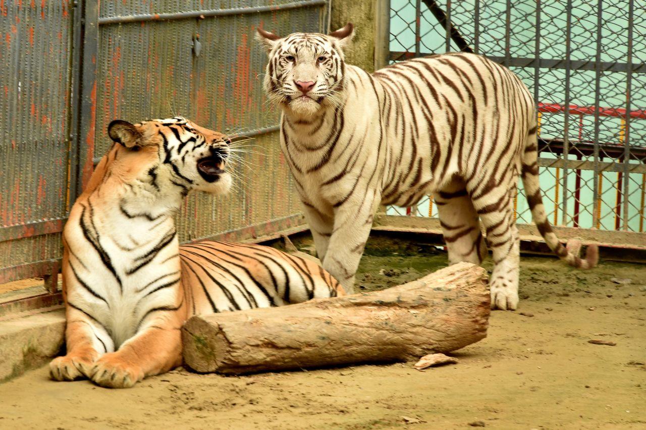 Ein Albino-Tiger im Käfig mit einem normalen Tiger
