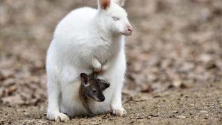 Ein Albino-Wallaby mit ihrem Baby