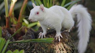 Ein Albino-Eichhörnchen auf einem Ast in Südafrika