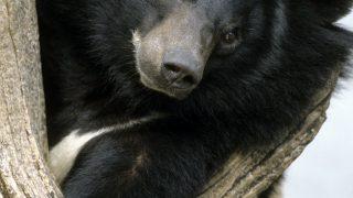 Asiatischer Schwarzbär in einem Baum