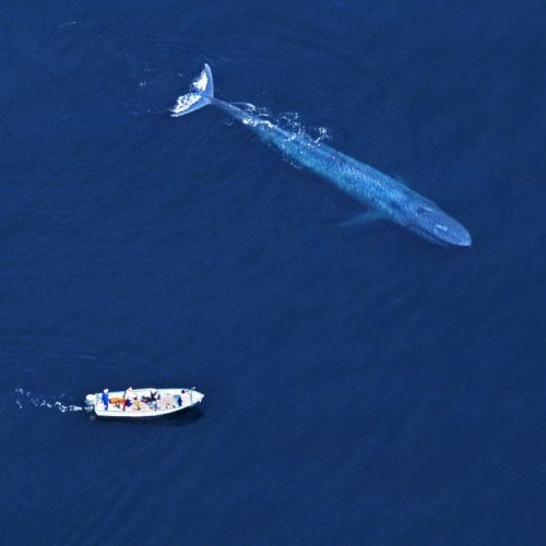 Blauwal schwimmt im Ozean