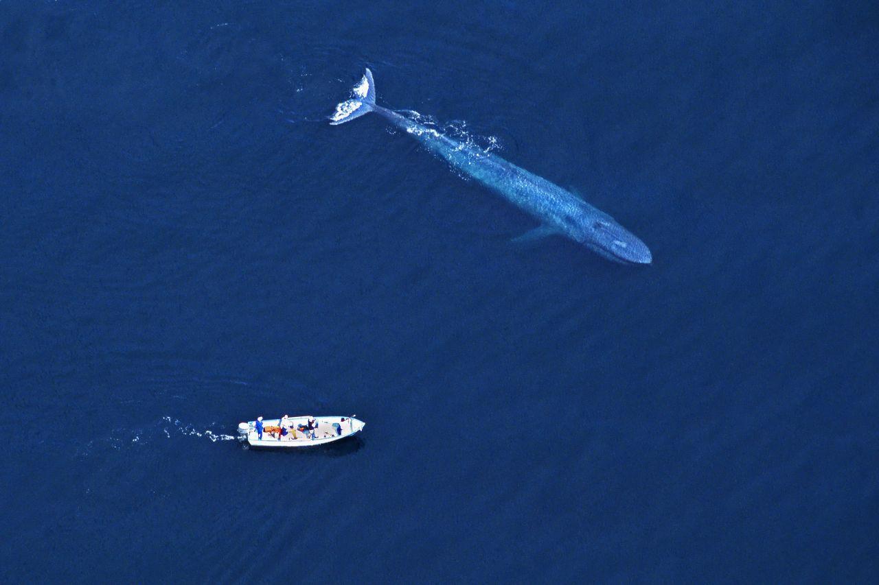 Blauwal-EKG: So schlägt das größte Herz der Welt