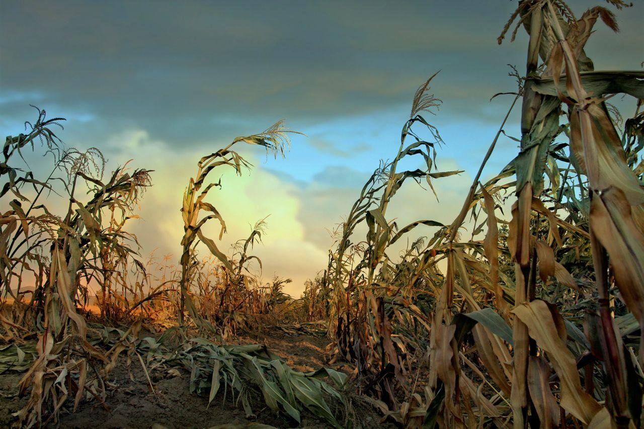 Dürre auf einem Feld