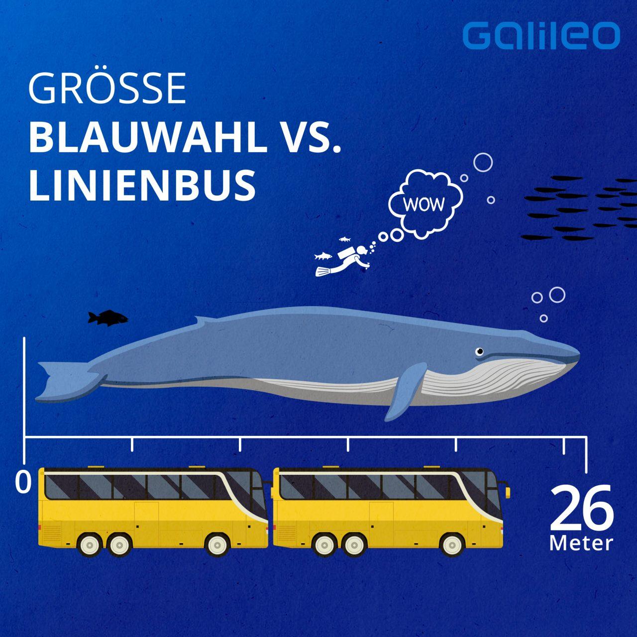 Große Blauwal