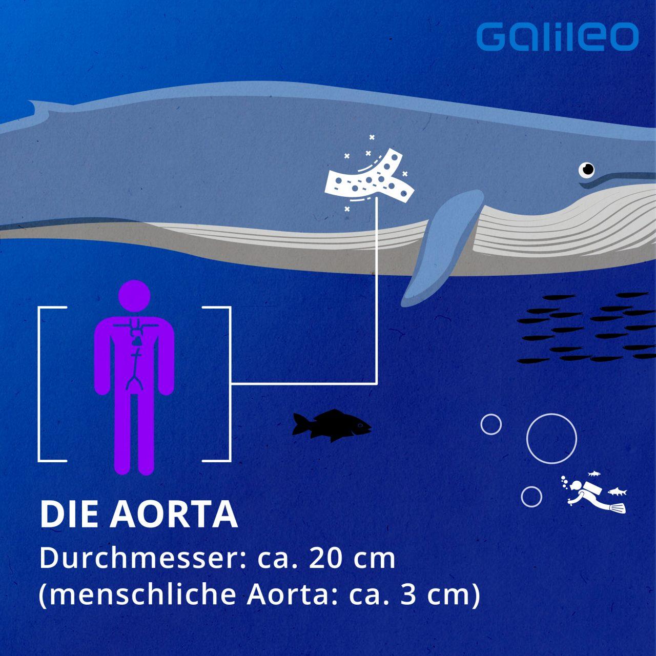 Aorta Blauwal