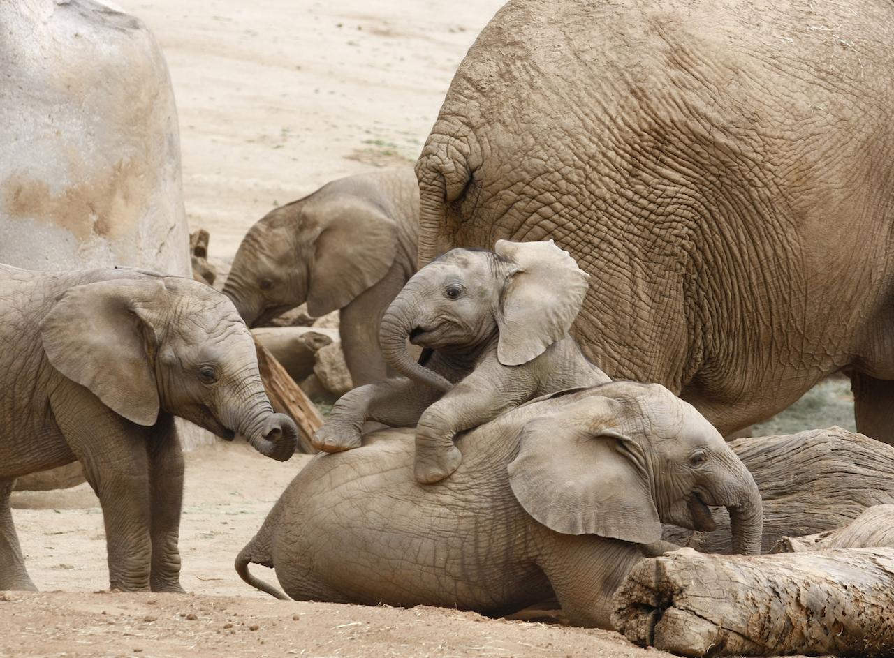 Elefanten Eltern