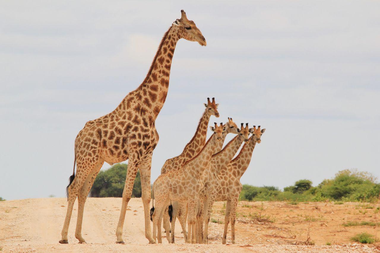 Giraffen Eltern