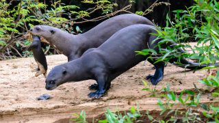 Otter Eltern