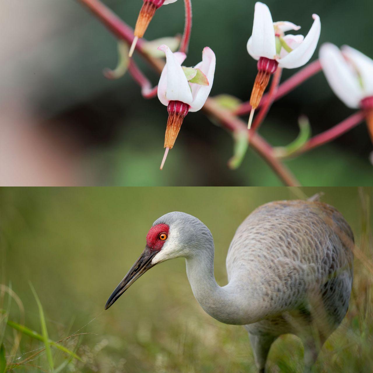 """Der Name """"Cranberry"""" leitet sich von Kranich (Englisch: Crane) ab, weil ihre Blüte an den Kopf des Vogels erinnert."""