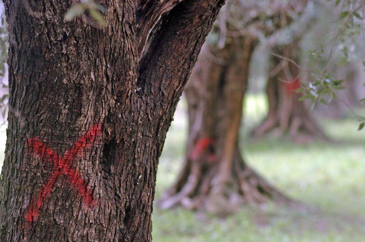 Olivenbäume werden von einem Parasit befallen