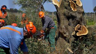 Olivenbäume werden gerodet