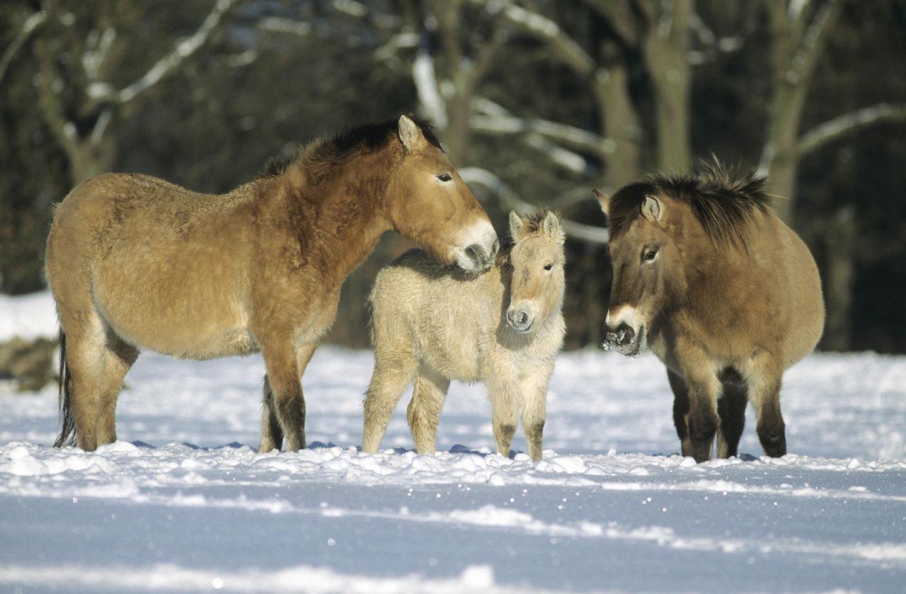 Przewalski-Pferde im Schnee