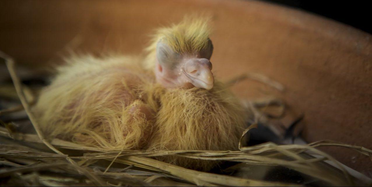 Baby Taube