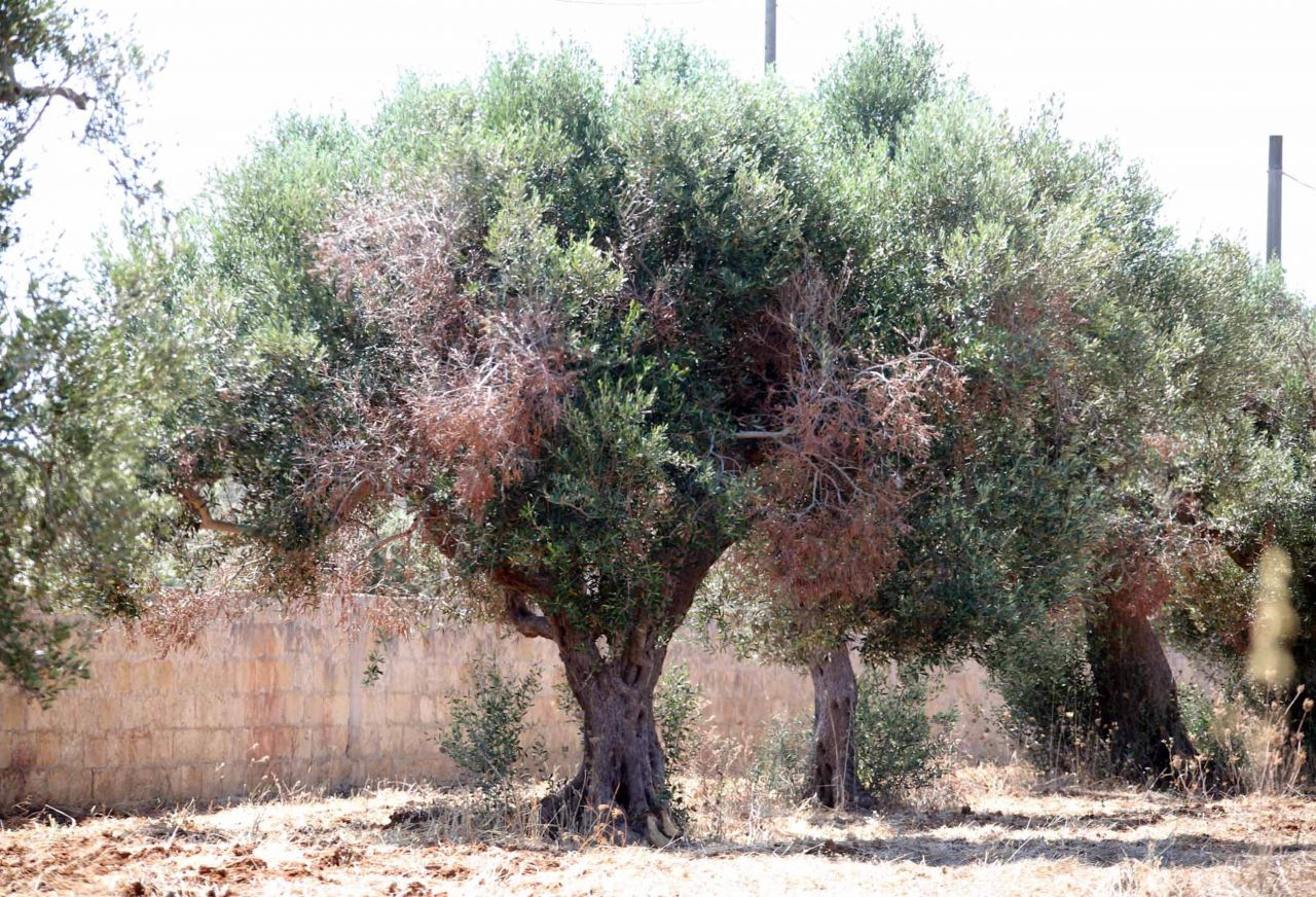 Tote Olivenbäume mit vertrockneten Blättern