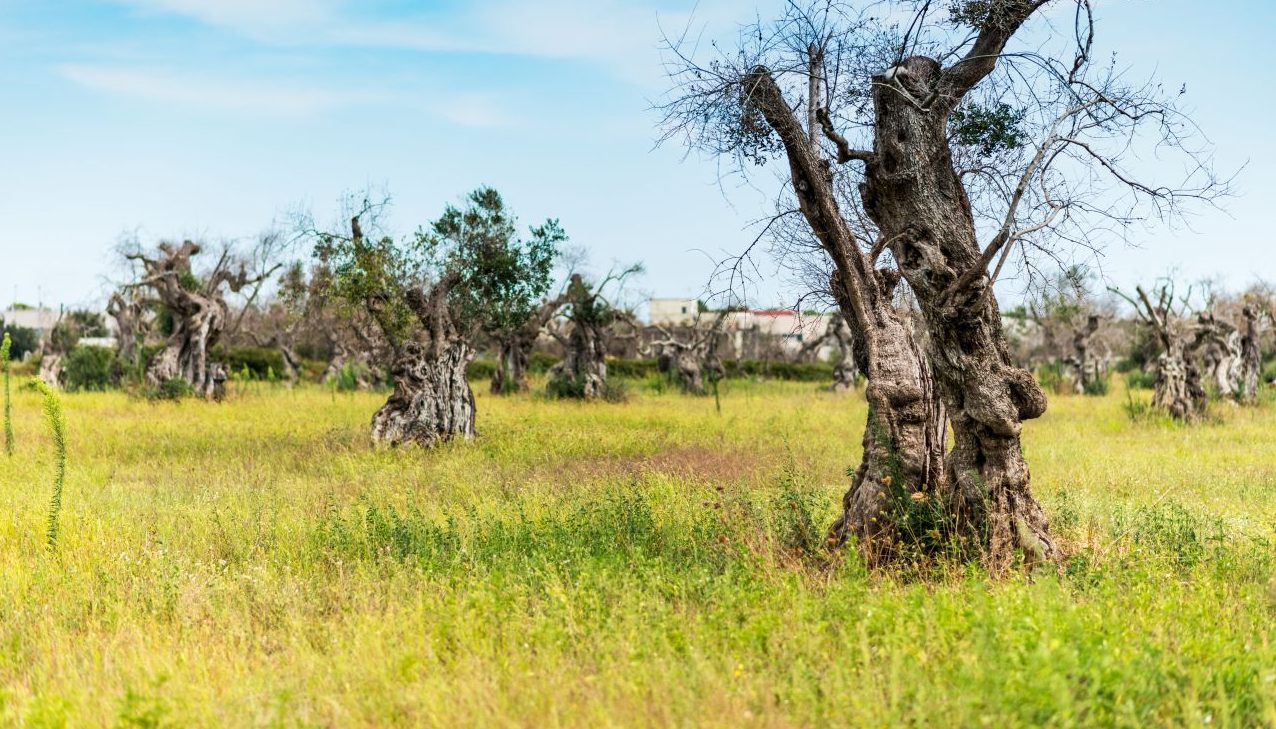 Oliven in Gefahr: Schädling zerstört Millionen Bäume
