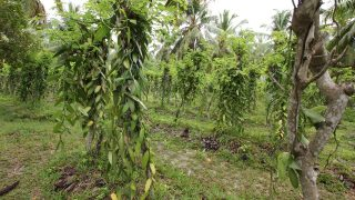 Feld von Vanille-Orchideen