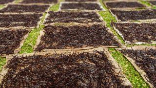 Vanille-Schote nach der Ernte