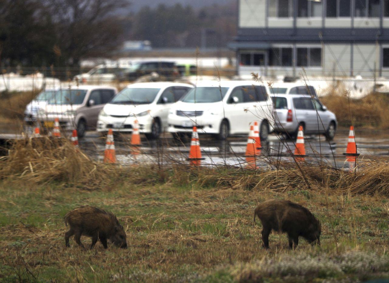 Wildschweine auf einer Wiese