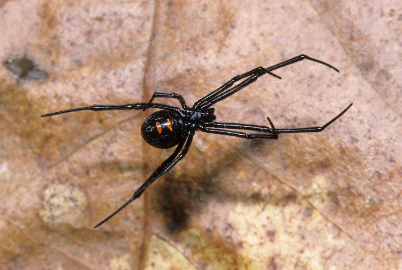 Klein, aber höchst gefährlich ist die Schwarze Witwe, die überwiegend in Nordamerika zu finden ist. Ihre nur 15 mm Größe täuschen über die Auswirkungen ihres Gifts hinweg. Denn ein Biss kann Muskelkrämpfe und Übelkeit auslösen. Tödlich ist sie jedoch nicht.