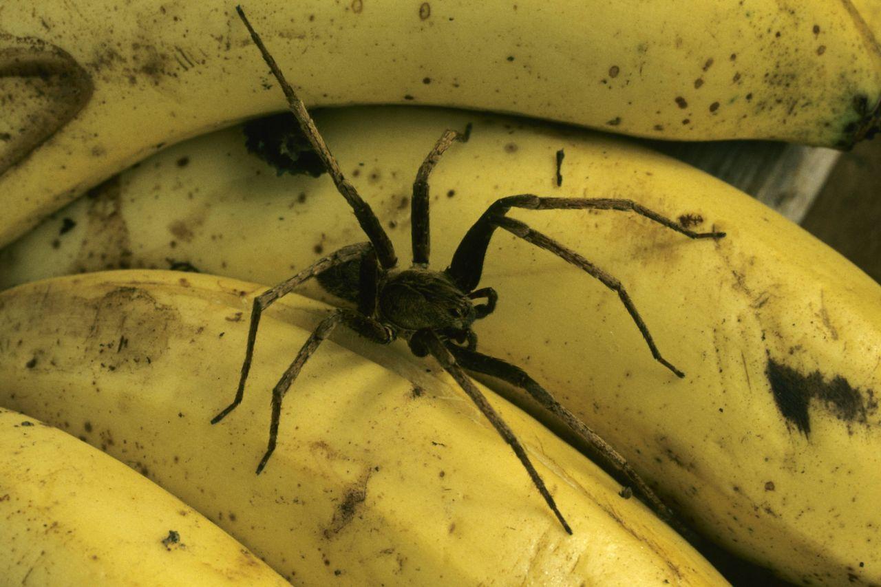 Lauf, solange du noch kannst, heißt es bei der Bananenspinne. Erschreckend: Sie lebt in Bananenstauden und wird manchmal direkt in unsere Supermärkte geliefert. Ein Biss kann gefährlich sein, wenn er nicht ärztlich behandelt wird. Deshalb: Augen auf beim Bananenkauf!
