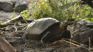 Galapagos-Schildkröte ist doch nicht ausgestorben