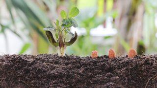 Erdnuss-Pflanze selbst ziehen